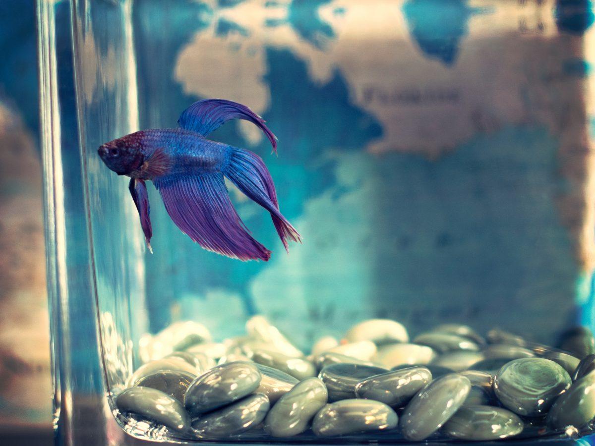 animal-aquarium-betta-fish-942295